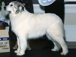 great pyrenees dog spotters