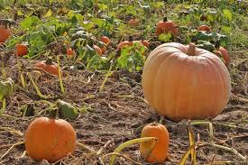 Piedmont Service Center Pumpkin Patch by Meet The Pumpkin Patch At Richlands Dairy Farm Central Virginia