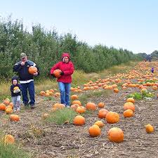 Las Cruces Pumpkin Patch Maze by U Pick Pumpkin Patch At Klackle Orchards