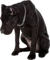 My Cane Corso Shedding A Lot by Best Dog Food For Cane Corso Ultimate Buyer U0027s Guide
