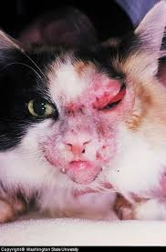 clindamycin for cats feline skin infection and pictures of cat skin problems