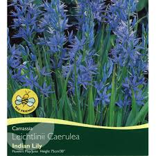 bulbs camassia leichtlinii caerulea bulbs for sale