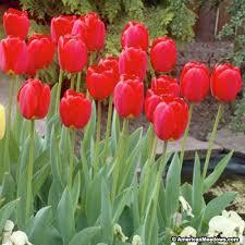 perennial darwin tulip bulbs oxford american