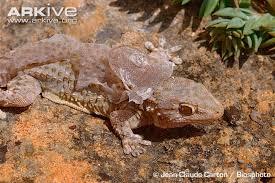 Crested Gecko Shedding Behavior gecko shed hotelroomsearch net