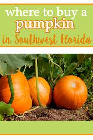 Sarasota Pumpkin Festival Location by Where To Buy A Pumpkin In Southwest Florida Mom Explores