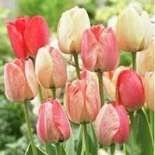 darwin tulip bulbs apeldoorn elite dutchgrown皰 tulips
