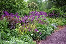 great bulbs and perennials allium purple sensation