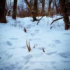 Field Springer Spaniel Shedding by Spring Shed Hunting