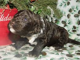 No Shed Dogs Illinois by Goldendoodle And Australian Labradoodle Puppies For Sale