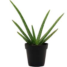 delray plants aloe vera in 4 pot walmart