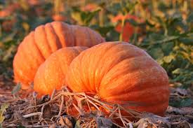 Bates Nut Farm Pumpkin Patch 2014 by Where To Find The Best Pumpkin Patches In San Diego Lajolla Com