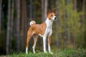 No Shed Small Dogs by 10 Small Dog Breeds That Don U0027t Shed Small Non Shedding Dogs