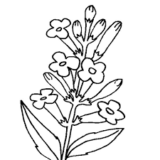 Lavender Flower Planting For Its Oil Coloring Pages