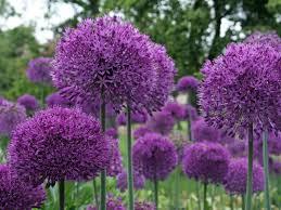 allium purple sensation bulbs tubers potted plants boyne