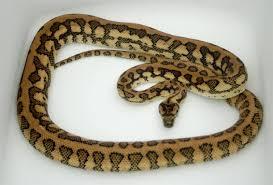 Coastal Carpet Python Facts by Jag Carpet Python Carpet Vidalondon