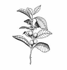 Cute Thigh Coffee Plant Clipart Small Pencil And In Color Style Pictures