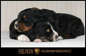 Best House Dogs That Dont Shed by Goliath Saintberdoodles