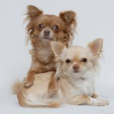 Quiet Small Non Shedding Dog Breeds by Quiet Non Shedding Dog Breeds Breed Dogs Picture