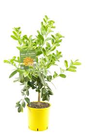 buddhas pflanze 80 cm citrus medica sarcodactylis zitronenbaum