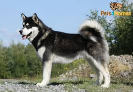 Do Malamutes Shed Hair by Alaskan Malamute Dog Breed Information Buying Advice Photos And