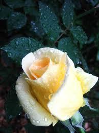 100 Rosee Brouillard Et Rose Du Matin Sur Aiguilles De Pin Source Http