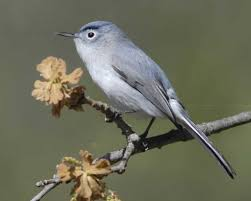 Blue-gray Gnatcatcher, Another Bird Pointed Out To Me By A Birder ... Wild Birds Unlimited Common Backyard Bird Nest Idenfication Sounds Articles Old Farmers Almanac Whibreasted Nuthatch Sitta Carolinensis Birds Certhioidea Best 25 Birds Ideas On Pinterest Pretty Blue A Brown Headed Cowbird At Thicksons Woods Debunk 12 Myths About Feeding Cute Rbreasted Nuthatch Winter Of Wisconsin Species Infographic Poster By Diana Sudyka The Worlds Photos And Sviceberry Flickr Hive Mind Grow These Native Plants So Your Can Feast Audubon What I Find In My Ontario Canada Youtube
