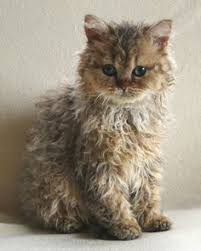 haired cats cybergata elfie the curly cuteness of selkirk rex kittehs