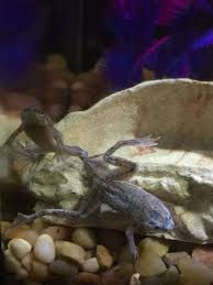 Do Aquatic Dwarf Frogs Shed Their Skin by 100 Can African Dwarf Frogs Shed 100 African Dwarf Frog