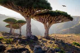 100 Rocky Landscape Dragon Blood Trees In Rocky Landscape Homhil Protected Area