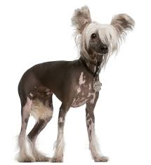 Non Shedding Dog Breeds Kid Friendly by Chinese Crested