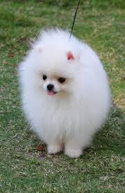 Do Pomskies Shed Fur by 193 Best Pomsky Pomeranian Images On Pinterest Pomsky