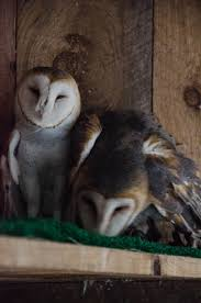 Birds Of Prey, Shaver's Creek Raptor Center – Kohrphotos Barn Owl New Zealand Birds Online Audubon California Starr Ranch Live Webcams Barn Red My Pet Pupo The Barn Owl Mouse Youtube Babyowl Explore On Deviantart Adopt An The Wildlife Trusts Wikipedia Owlrodent Research Project Vineyard Owl Lookie My Pet Growing Up Growing Up Album Imgur Made Out Of Wood And Plant Materials I Found At Parents