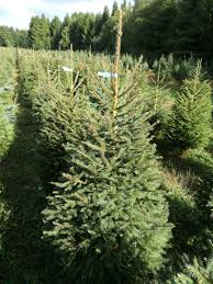 Nordmann Fir Christmas Tree by Norway Spruce Christmas Tree Picea Abies Grown In Denmark