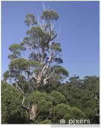 poster riesen eukalyptus baum