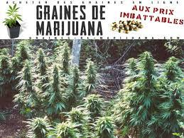 planter du cannabis à l extérieur graines de marijuana