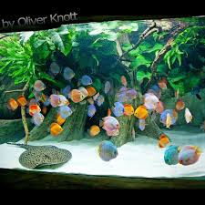 5.500 Liter (Year 2015) Location: Kölle-Zoo Karlsruhe #oliverknott ... Aquascaping Artist Oliver Knott Scapingaquarium Pinterest Schwimmende Stein Steine Im Aquarium By Knott Youtube Aquascapi Sequa Interzoo 2012 Feat Chris Lukhaup Live Part 3 The Island Aquascape Step Aquariology With At The Koelle Zoo Heidelberg New Project Photo Editor Online And Editor Made Teil 1 Inspiration Tips Tricks Love Aquascaping Octopus Aquarium Via Aquac1ubnet