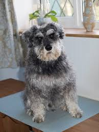 Do Giant Schnauzer Dogs Shed Hair by Miniature Schnauzer Bertie And Me Page 11