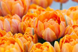 tulipa orange princess tulip orange princess late tulip