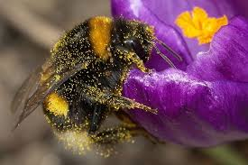 bumble bees in the garden