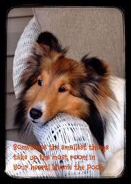 Sheltie Shedding Puppy Coat by 371 Best Shelties Images On Pinterest Shetland Sheepdog Sheltie