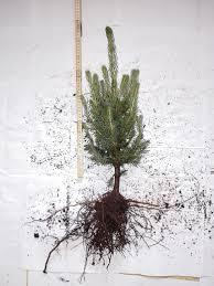 Christmas Tree Seedlings Wholesale by Blue Spruce Plants Blue Spruce Seedling Wholesale Denmark Europe