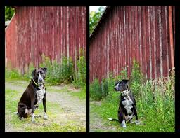 Jake At The Barn -Pet Photography In Guilford, CT - Kathryn ... New Custom Barn Style Cedar Dog House Ac Heated Insulated Boarding Photolog Amazoncom Prevue 465 Red Chicken Coop Garden Outdoor The Vaccines Barn Dogs Need Horse Owners Resource Diy Door Pet Condo Sheepy Hollow Farm Age Ecoflex Jumbo Fontana Echk503b Rural King Status Playtime Youtube Badrap Blog A View From The Inside Traing