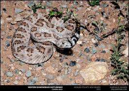 Snake Skin Shedding Lucky by A Comprehensive List Of The Venomous Snakes Found In The Desert