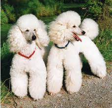 Cute Non Shedding Dog Breeds by 7 Great Hypoallergenic Dog Breeds That Won U0027t Make You Sneeze