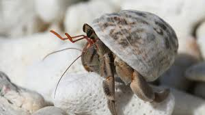 Do Hermit Crabs Shed Their Legs by 2017 U0027s Most Controversial Pet The Hermit Crab Certapet