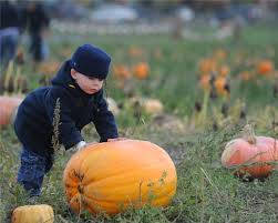 Snohomish County Pumpkin Patches Corn Mazes by Stocker Farms Pumpkins