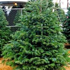 Silvertip Christmas Tree Orange County by Surfing Santa Christmas Trees 14 Photos Christmas Trees 412