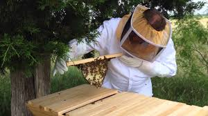 3 Week Inspection For The Spot On Farm Kenyan Top Bar Beehive ... Kenyan Top Bar Hive Youtube Wood Pe Hung Share Free Kenyan Top Bar Hive Plans The Peace Bee Farmer Hives Polar Vortex Additional Wterizing Preparing Our Beehive For Winter Making Our Sustainable Life Interior Lawrahetcom Top Bar Hives Pinterest Bkeeping Rources Building A Grovestead Talking With Bees Bkeeping Reusing 1 Yr Old Comb