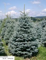Canaan Fir Christmas Tree Needle Retention by Blue Spruce Jpg