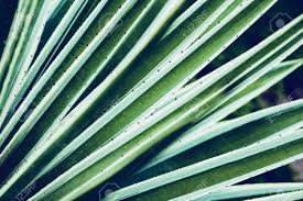 100 Natural Geometry Cactus Aloe Vera Closeup Floral Background The Concept